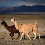 Strolling llamas make their home in Bolivia's high altitude climes.  Photo by Robert J. Brodey